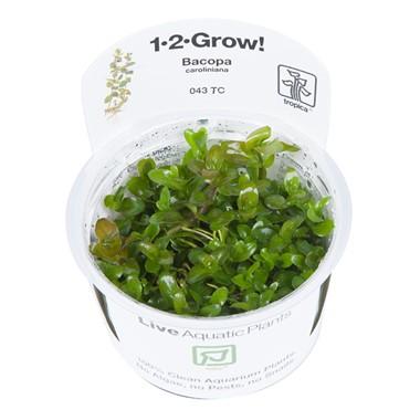 Bacopa_caroliniana_1-2-Grow_2