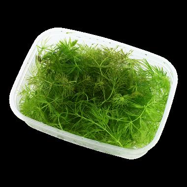 Ceratophyllum_demersum_Foxtail_1
