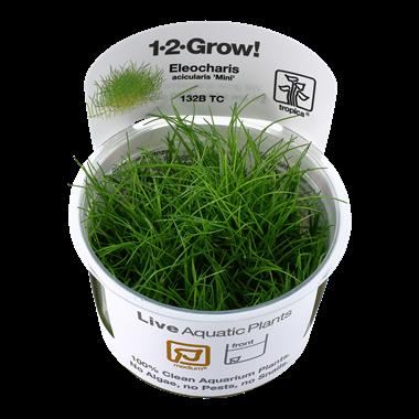 Eleocharis acicularis 'Mini' 1-2-Grow!