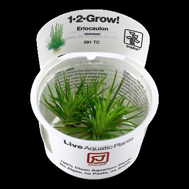 Eriocaulon_cinerum_1-2-Grow_