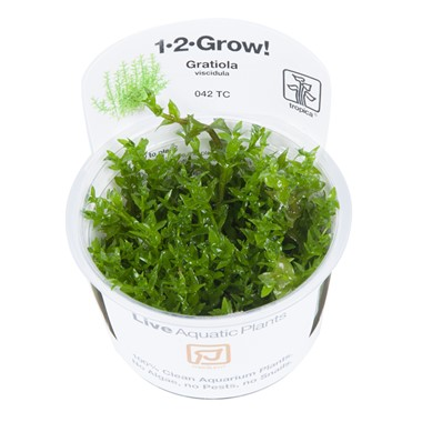Gratiola_viscidula_1-2-Grow_