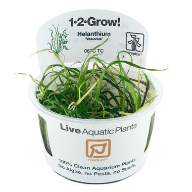 Helanthium_Vesuvius_1-2-Grow_