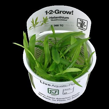 Helanthium_quadricostatus_1-2-Grow_
