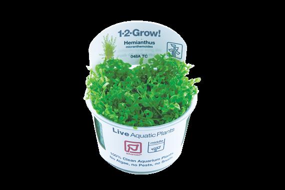 Hemianthus_micranthemoides_1-2-Grow_