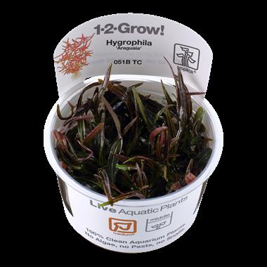 Hydrophila_Araquaia_1-2-Grow_
