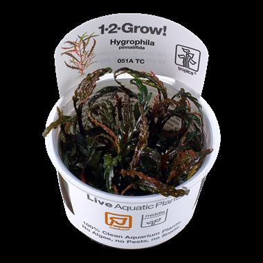 Hydrophila_ponnatifida_1-2-Grow_