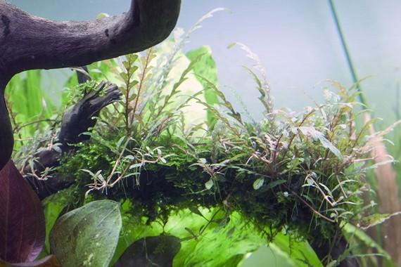 Hydrophila_ponnatifida_1-2-Grow_2
