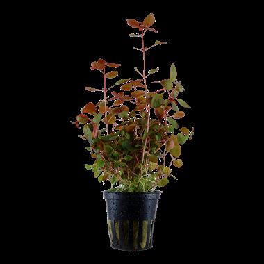 Ludwigia_palustris_1