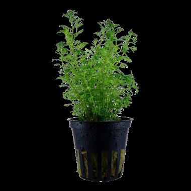 Myriophyllum_mattogrossense_