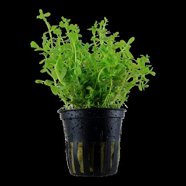 Rotala spec. Green Pot