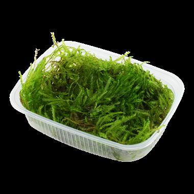 Taxiphyllum 'Spiky' portion