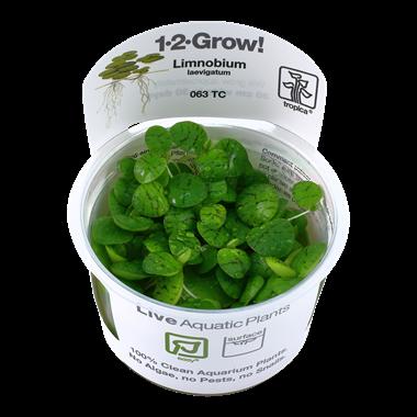 Limnobium_laevigatum_1-2_Grow_