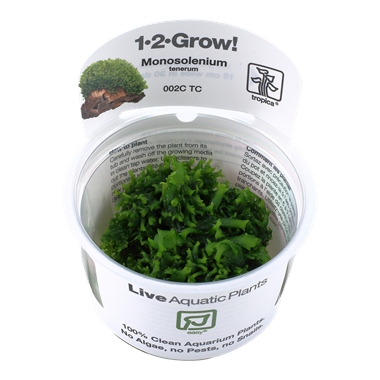 Monosolenium_tenerum_1-2_Grow_