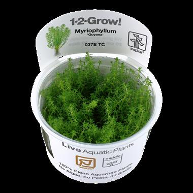 Myriophyllum_Guyana_1-2_Grow_