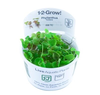 Phyllanthus_fluitans_1-2_Grow_