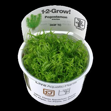 Pogostemon_erectuss_1-2_Grow_
