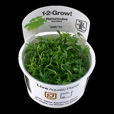 Ranunculus_inundatus_1-2_Grow_