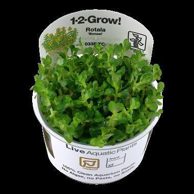 Rotala_Bonsai_1-2_Grow_