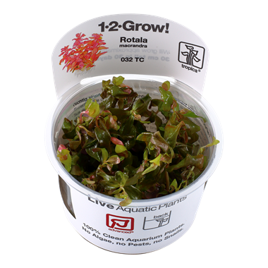 Rotala_macrandra_1-2_Grow_
