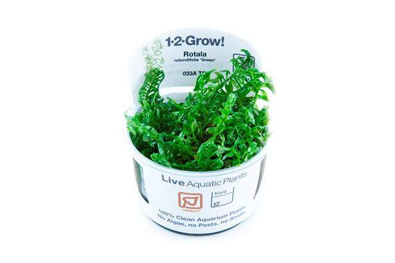 Rotala_rotundifolia_Green_1-2_Grow_