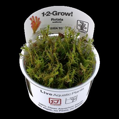 Rotala_wallichii_1-2-Grow_
