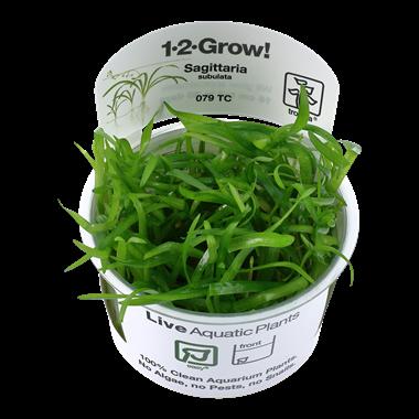 Sagittaria_subulata_1-2-Grow_