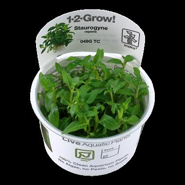 Staurogyne_repens_1-2-Grow_