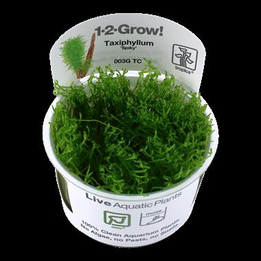 Taxiphyllum_Spiky_1-2-Grow_