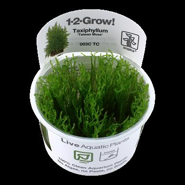 Taxiphyllum_Taiwan_moss_1-2-Grow_
