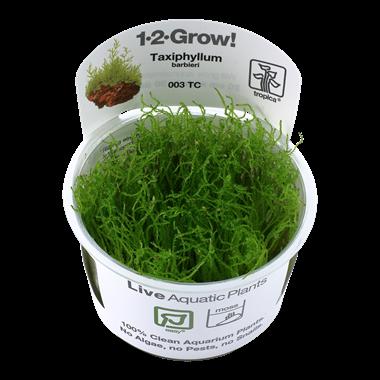 Taxiphyllum_barbieri_1-2-Grow_