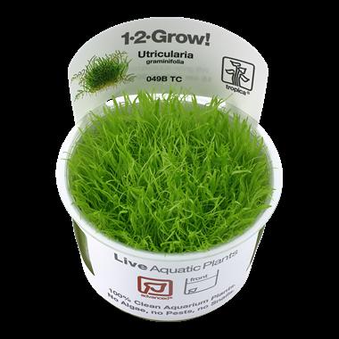 Utricularia_graminifolia_1-2-Grow_