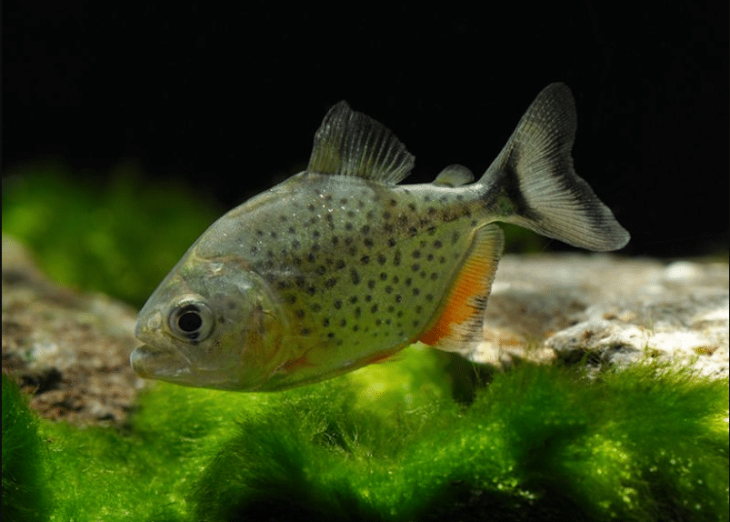 Serrasalmus nattereri 4-5cm