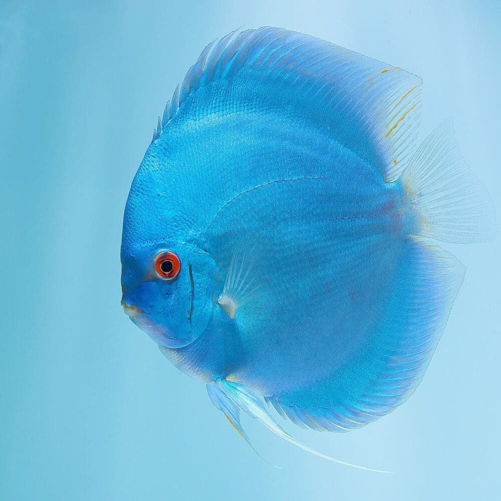 Blue Diamond Discus 6-7cm